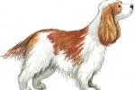Akut nyreinsufficiens hos hund